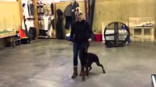 Finn 6 Month Old Doberman Tricks And Obedience