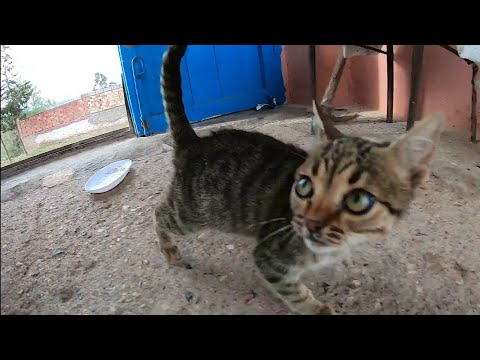 Very hungry kittens meowing loudly for food