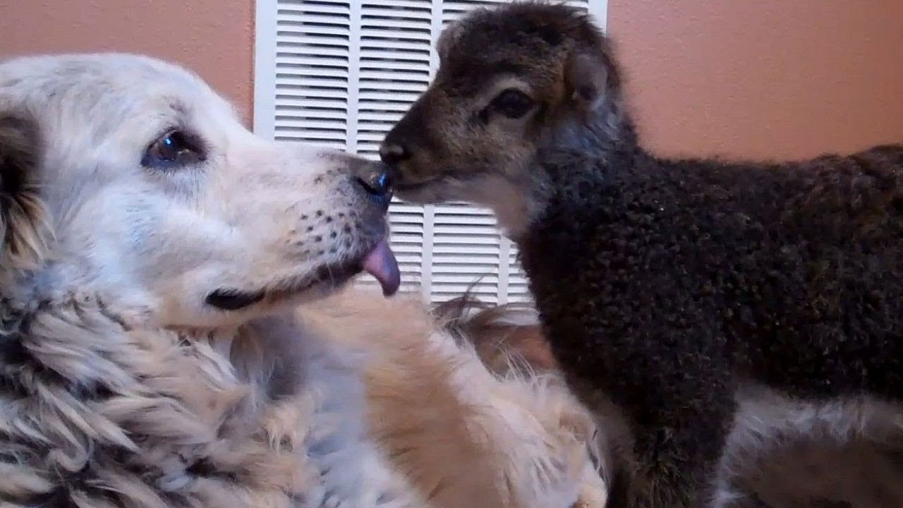 Little baby lamb makes friends with Misky the dog  YouTube