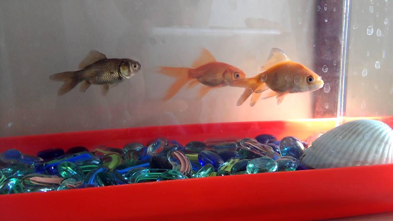 Japon Balığı Cinsiyeti Nasıl Anlaşılır