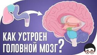 Как устроен головной мозг