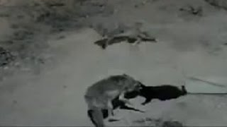 Wolves killed a cat in town. Wolves attack a cat.