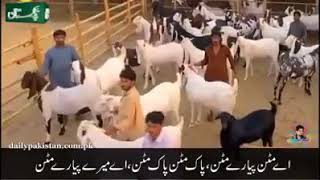 Crazy goats funny video &song