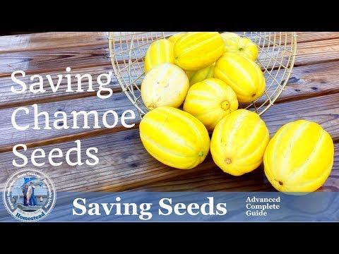 HD How to Save Chamoe (Korean Melon) Seeds