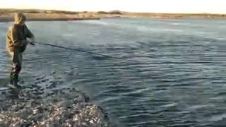 Арктический голец