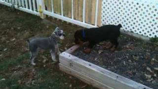 Min. Schnauzer And Rott Puppy!