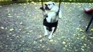 Bulldog In Swing