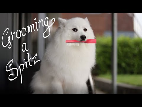 How to groom a Spitz