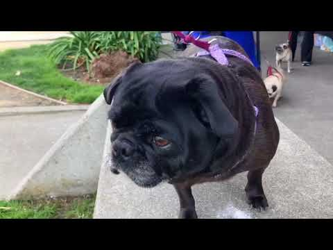 Update 3/4/2018 Sydney Was Adopted Through Pug Rescue of Sacramento