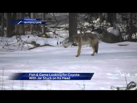 NH Fish And Game Searches For Coyote Stuck In Jar
