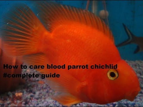 Parrot Fish Chichlid Care And Requirements To Keep As A Pet #Feeding #Completeguide