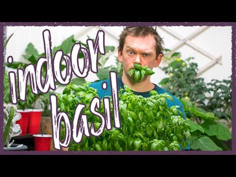 Grow Perfect Basil indoors!