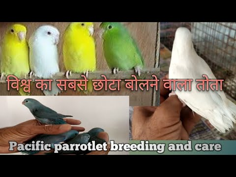 Pacific Parrotlet of
