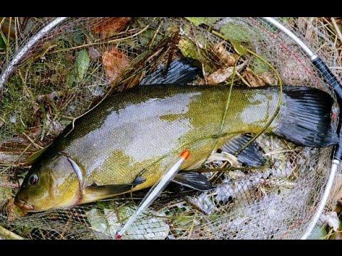 рыбалка на линя время нереста прикорм