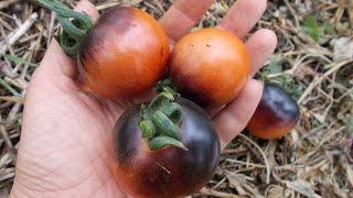 видео Американский ребристый томат: отзывы, характеристика и описание сорта