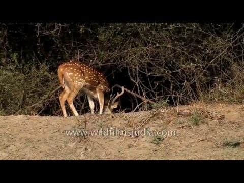 Thumbnail: Chital gets deadly close to a sunbathing rock python!
