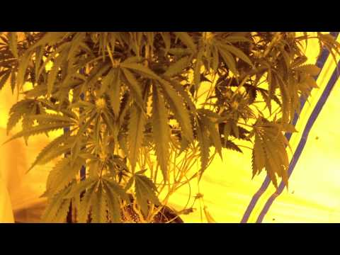 For New Marijuana Growers: How to tell if your plant is a Hermaphrodite (Herm)