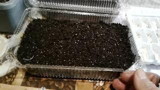 Посев семян цикламенов. Пошаговая инструкция . Мой опыт.