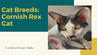 Cornish rex Slides  Cat Breeds