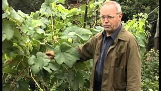 видео Виноград Агат донской: описание сорта, уход и выращивание, отзывы и фото