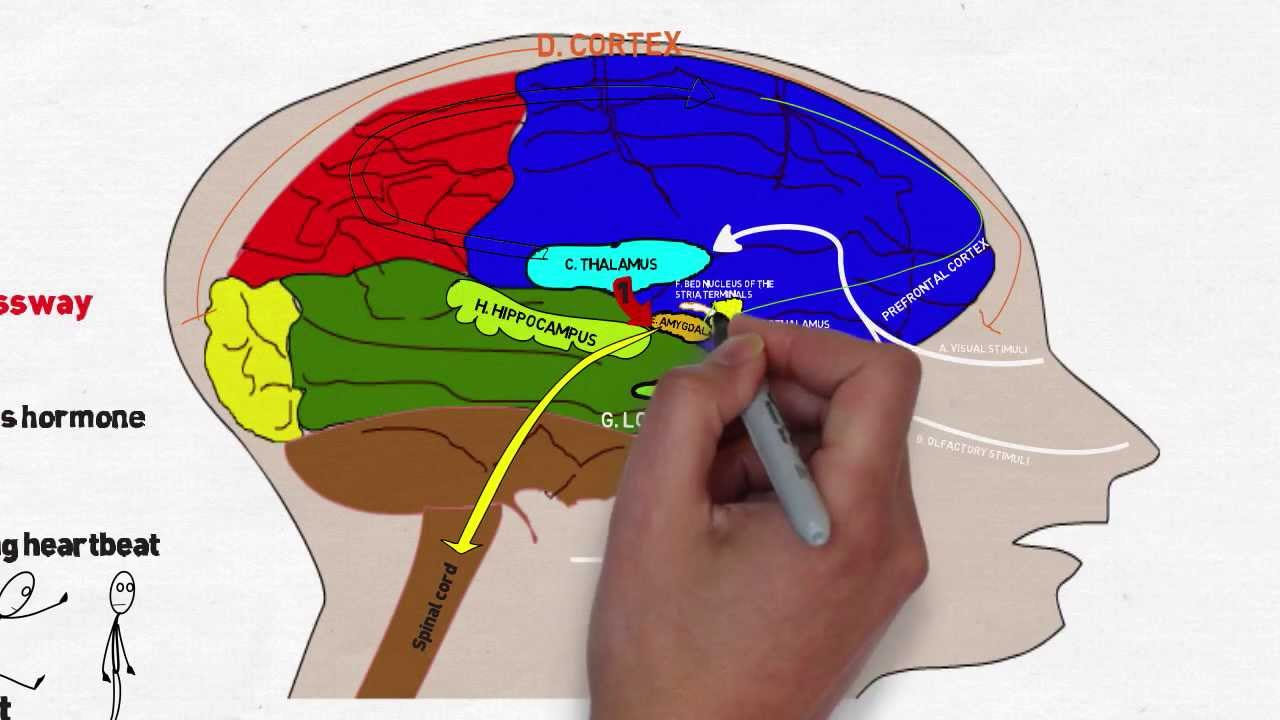 Your brain on stress and anxiety youtube your brain on stress and anxiety ccuart Images