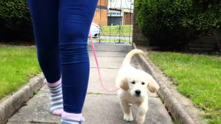 Lead Training With Our 8 Week Golden Retriever Puppy