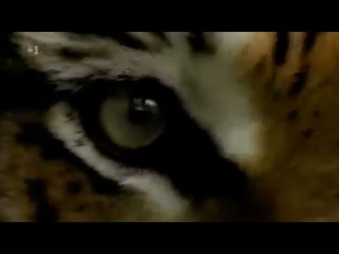 Eye of the Tiger - Featuring Real Tigers