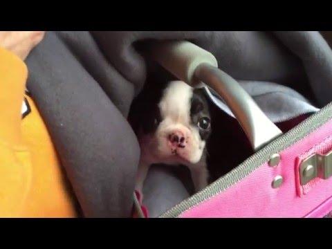 Meet Pepper - Bringing Home 9 Week Old Boston Terrier Puppy!