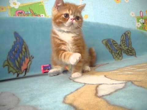 24 сен 2016. Поэтому порода, к которой он принадлежит, многими бесхитростно называется «порода кота снупи». На самом деле, его порода, конечно же, называется иначе, а именно – короткошерстная экзотическая кошка. Среди всех созданных к настоящему времени пород экзоты являются,