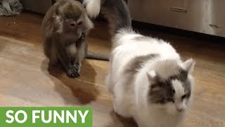 Monkey caught red-handed, tries to blame cat
