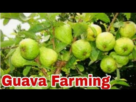 guava Farming in pakistan practical video , interview of a farmer