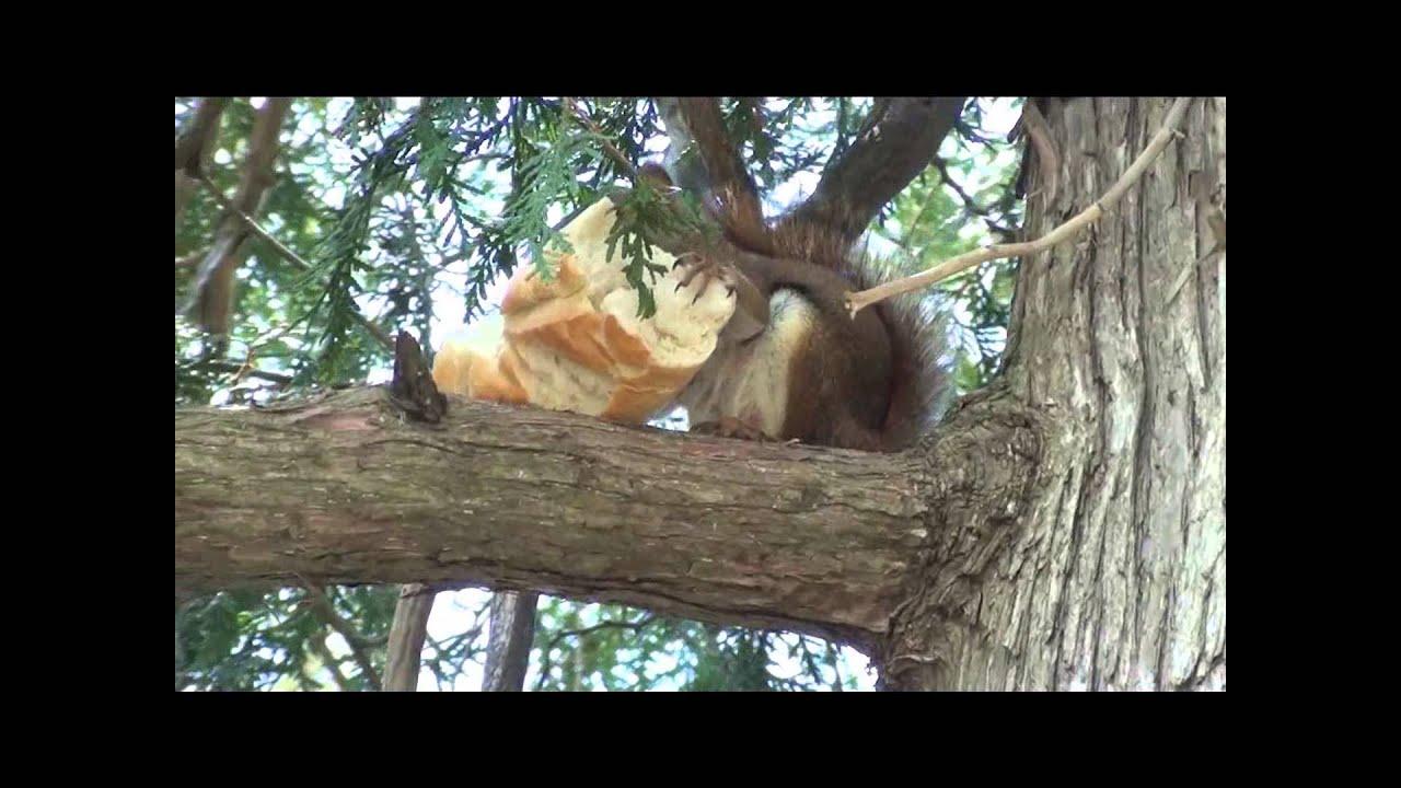 squirrel eating a sub sandwich  youtube