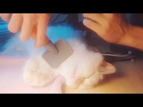 Cat Grooming: Proper Daily Brushing for Himalayan Persian