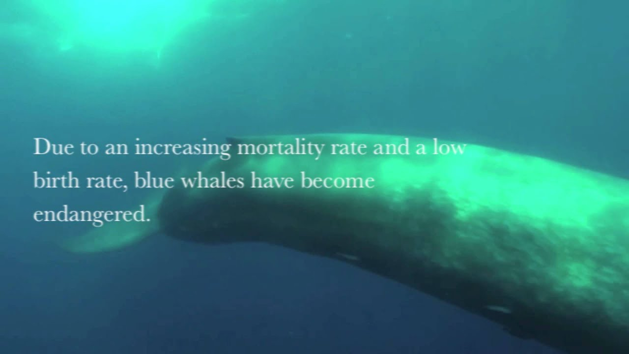 PSA Project: Endangered Species- Blue Whale - YouTube