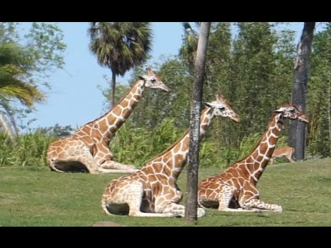 NOT Statues! EVER SEE Giraffe lying Down? How about herd of giraffe lying down? zoo Busch Gardens