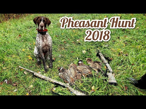 Pheasant Hunting Public Land 2018: Limit Out 4 Birds!