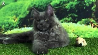 Видео котенка мейн-кун, голубой солид, Mousse Grey Claw`s в 3 месяца http://coonplanet.ru/