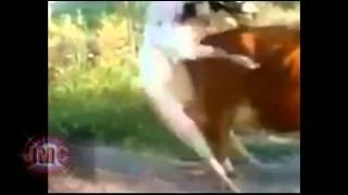 Toro resbala y cae al intentar montar a la Vaca, y el Burro se rie