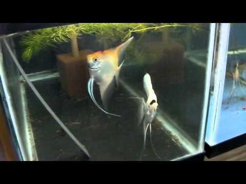 Gold Marble/Platinum Angelfish Pair