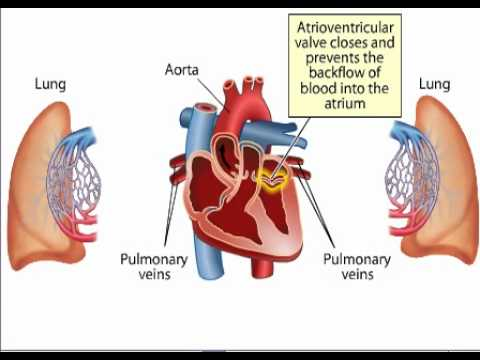 Blood Circulation In Heart Youtube