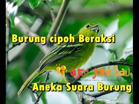 MBSS, Suara Burung Cipoh Beraksi