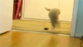 Baby Scottish Fold Kitten Pudding Bounces & Jumps Thumbnail