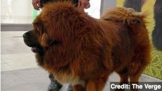 Chinese Zoo Disguises Dog as Lion, Visitors Outraged