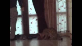 Ислам Махачев и Хабиб Нурмагомедов и дикая кошка