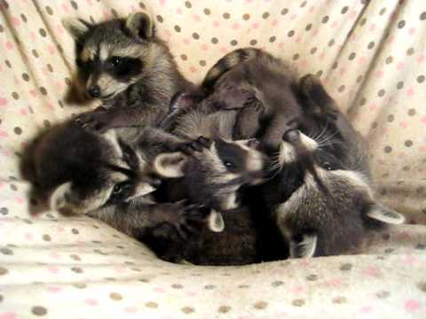 free hq baby raccoon - photo #37