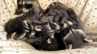 Five 8 week old baby raccoons playing in their hammock before bed =)