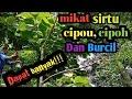Mikat Burung Sirtu Cipou Dan Burcil Menggunakan Suara Trucukan Ribut  Mp3 - Mp4 Download