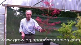 Pruning and training a weeping Japanese maple