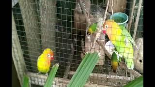 HD Audio Suara Kicauan Burung Lovebird Siang Hari Dalam Sangkar