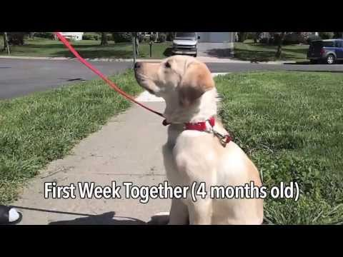 Temperament Testing For Mobility Service Dog
